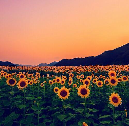 adorable-nature-relax-sunflower-Favim.com-2797426